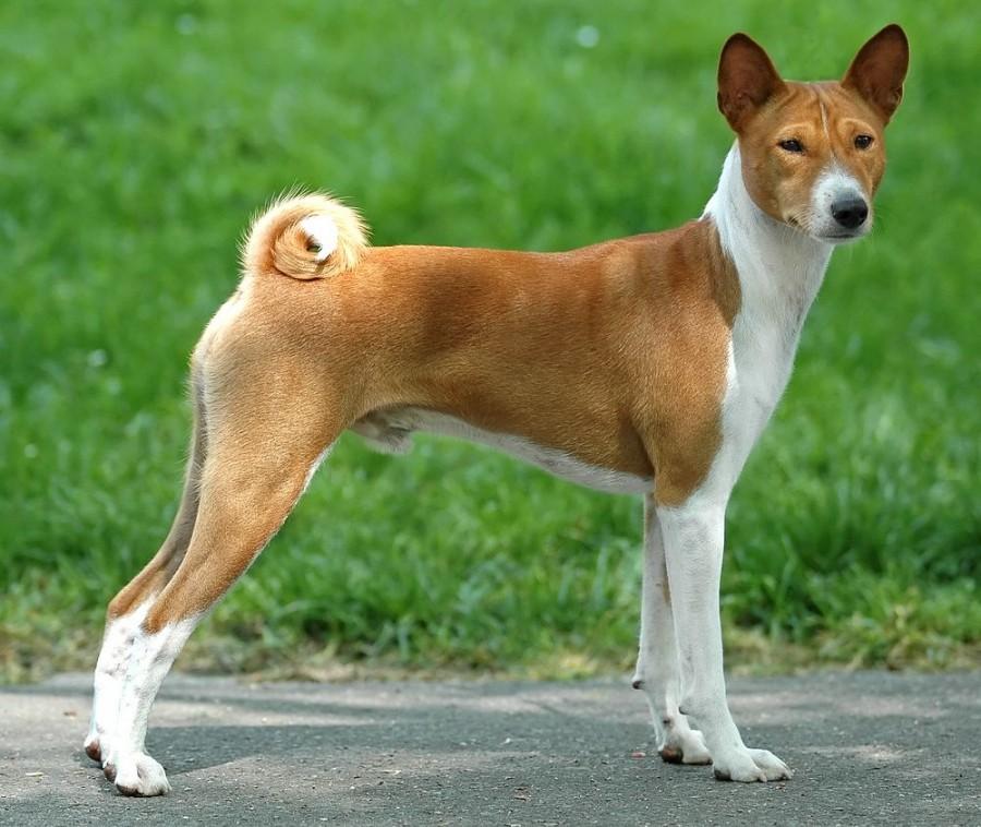 Порода собак: Басенджи