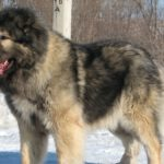 Кавказская овчарка на снегу