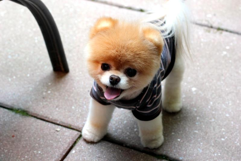 Короткошерстные маленькие породы собак