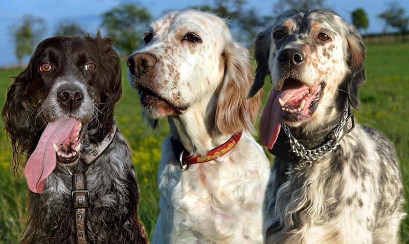 Подружейные (легавые) собаки