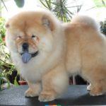 Шпицеобразные и примитивные собаки, Длинношерстные породы собак