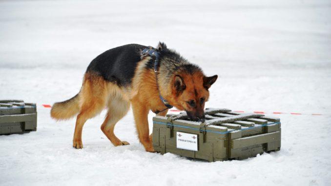 Розыскная собака