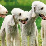 Группа собак Терьеры