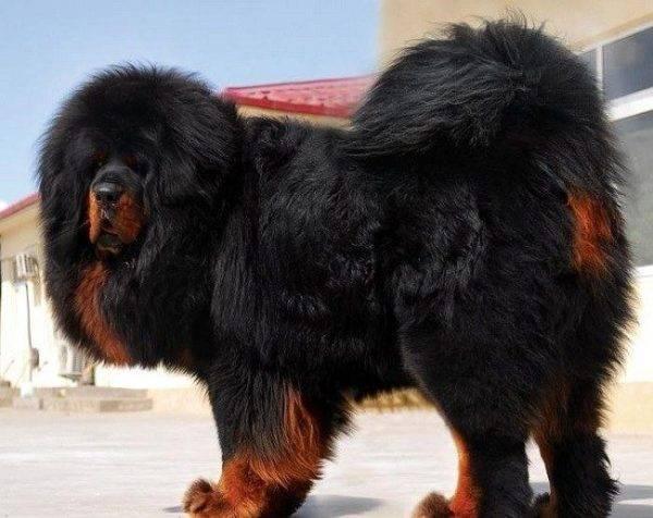 Длинношерстные породы собак