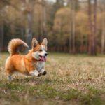 Пастушьи собаки,Собаки-компаньоны