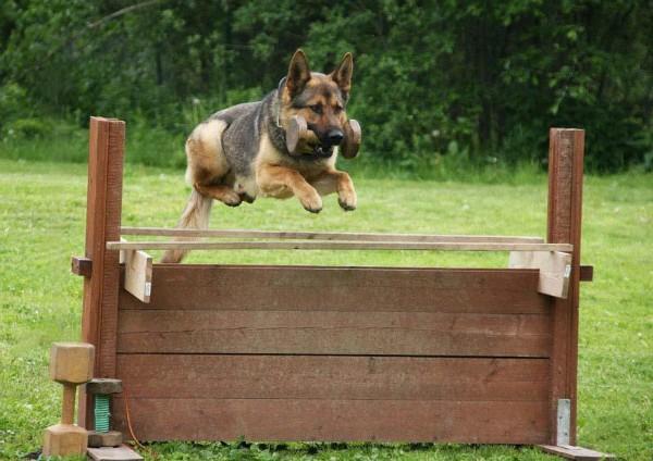Виды дрессуры спортивных собак