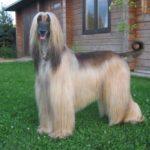 Борзые собаки, Длинношерстные породы собак