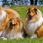 Пастушьи собаки, Длинношерстные породы собак