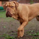 Гладкошерстные породы собак