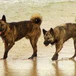 Порода собак Дзёмон-сиба