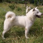 Порода собак Хоккайдо