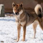 Порода собак Сикоку