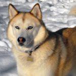 Порода собак Сахалинский хаски