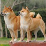 Порода собак Сиба-ину