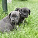 маленькие щенки Кане-Корсо