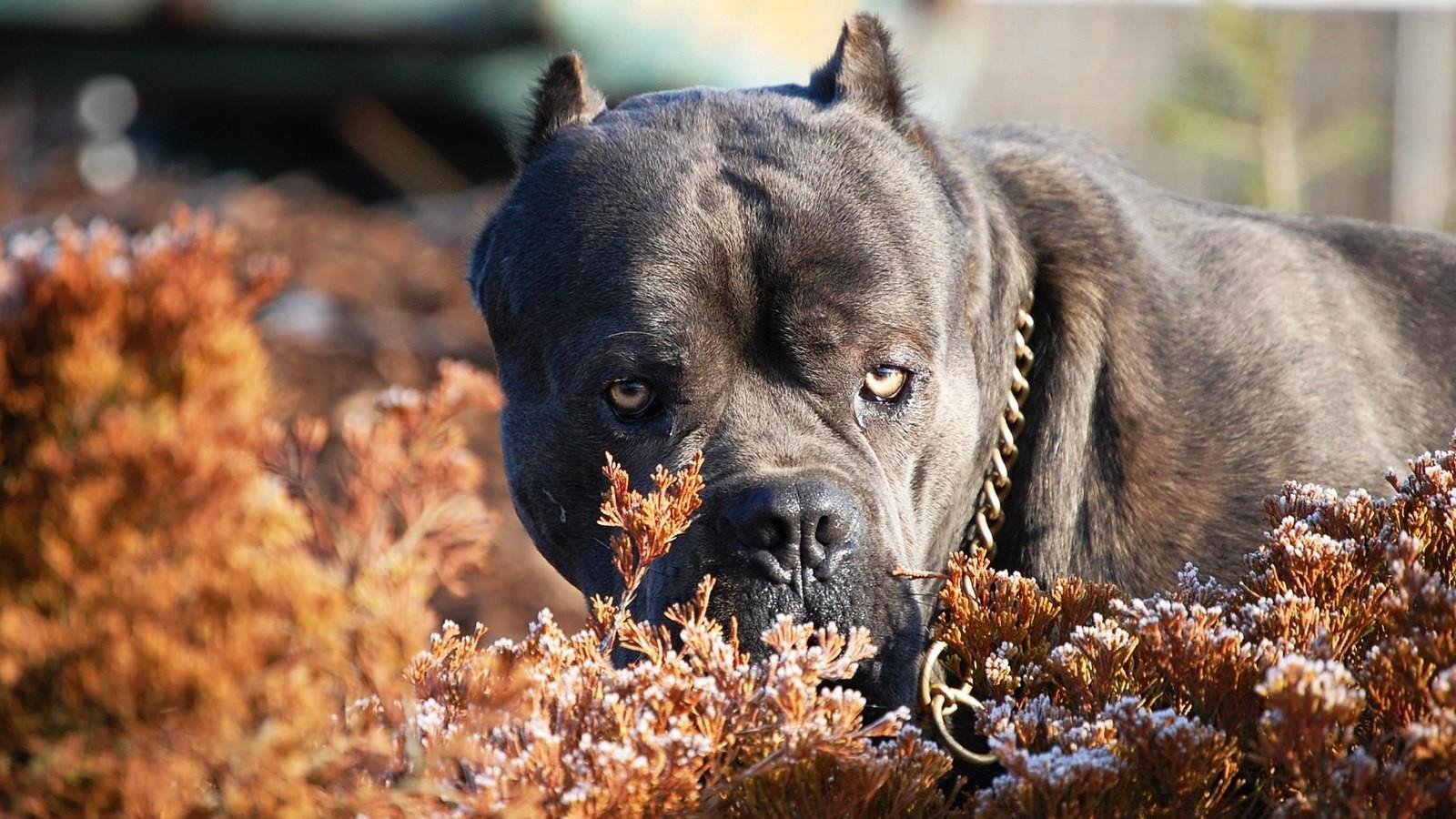 Впервые на территории Евразии собаки появились 1000 лет до н.э. В те времена порода использовалась для охраны скота, охоты.
