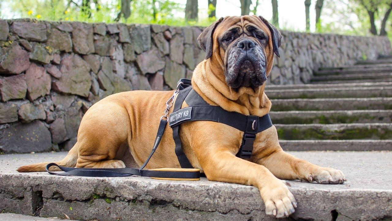 Уход и содержание для такой большой собаки относительно несложные
