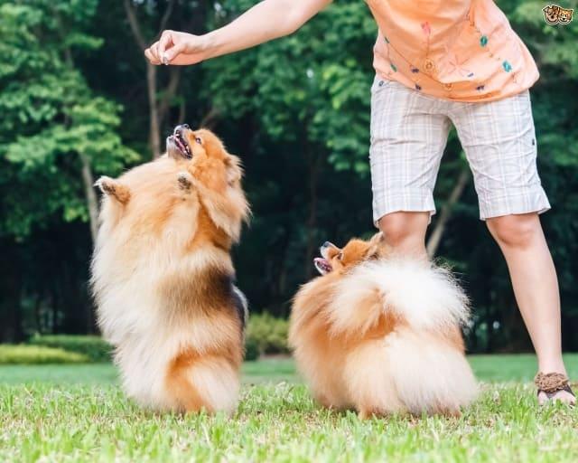 Воспитанием стоит заниматься с самых первых дней появления собаки в доме, причем запрещено давать какие-либо поблажки, хозяин обязан проявлять всю жесткость и стойкость характера.