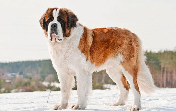 Верная, преданная и отважная собака – это лишь краткое описание благородной породы Сенбернаров, которые на протяжении многих веков являются не просто ласковыми питомцами, но и отважными спасателями.