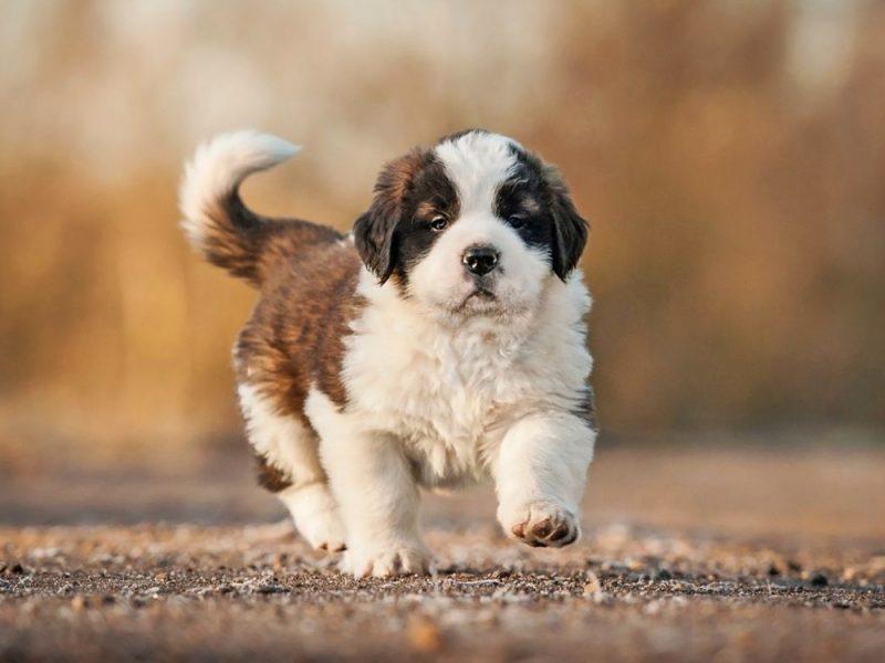 Стоимость и как выбрать щенка
