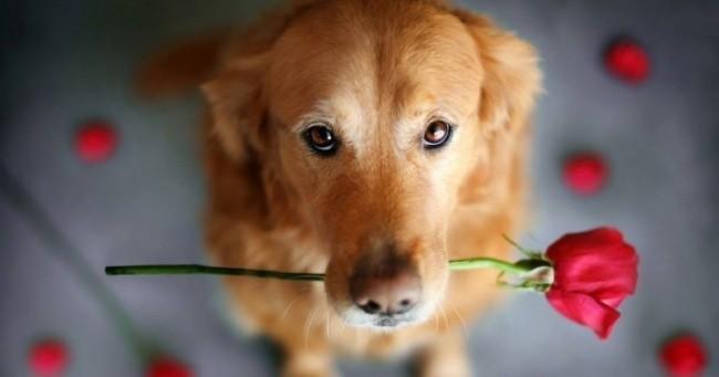 Собаки понимают до 250 слов и жестов, считают до пяти и могут решать простейшие математические задачи. Интеллектуально они на уровне двухлетних детей.