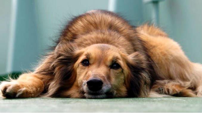 Важная информация про чумка у собак