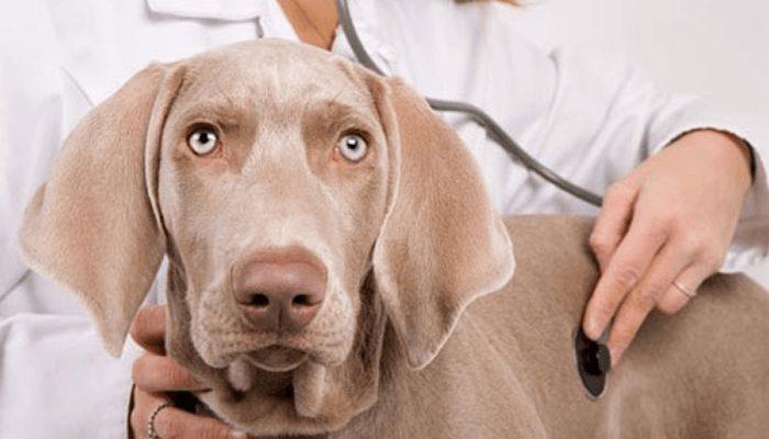 В группе риска находятся непривитые животные, состоящие в прямом контакте с больным животным