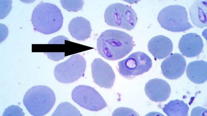 Piroplasma canis – паразит, который локализуется в клетках крови, таких как: эритроциты, нейтрофилах, плазме крови, иногда в паренхиматозных тканях.