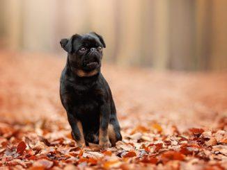 Пти-брабансон (или Гладкошерстный гриффон) — это маленькая декоративная порода собак, выведенная в провинции Бельгии — Брабанте. Отсюда и говорящее название