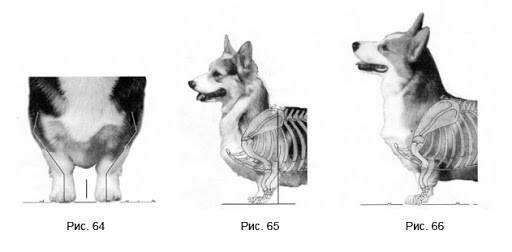 Вельш-корги является приземистой, компактной и крепкой собакой. Длина корпуса от холки до основания хвоста на 40% больше высоты от холки до земли