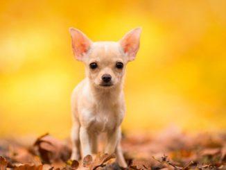 Чихуахуа — собаки крайне небольшого размера и считаются декоративными. Несмотря на то, что нрав у таких собак самолюбивый, они бесконечно преданы своему хозяину