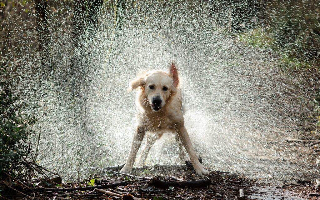 Для каждой конкретной собаки, а также в зависимости от обстоятельств, это может быть свой режим. Некоторых питомцев купают несколько раз в месяц, а некоторых один раз в 5-6 месяцев.