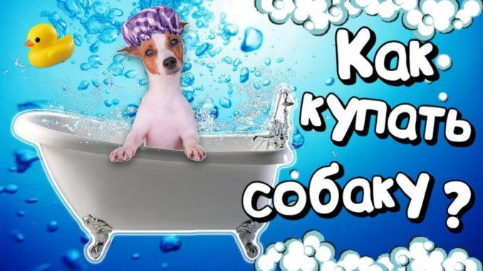 Как правильно мыть собаку не так уж и сложно. Однако есть вероятность, что шерсть или кожа могут быть повреждены, или испорчены, если проводить процедуру неправильно