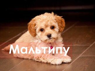 Мальтипу - маленькие дружелюбные собачки, похожие на плюшевых медвежат. Познакомимся с особенностями породы и ее основными характеристиками