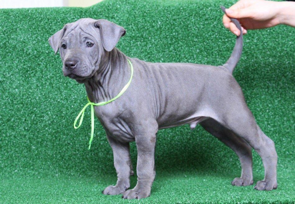 Если всё вышеперечисленное вас не напугало и вы твёрдо решили завести эту красивую, умную и неукротимую собаку, то теперь нужно перейти к следующему этапу — выбору щенка.
